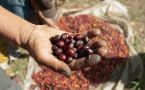 hand holding coffee cherries over bag of beans