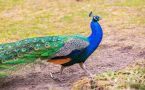 Colorful peacock strutting on grass.