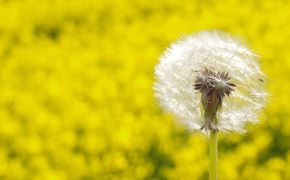 close up dandelion in field of yellow flowers