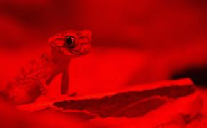 Close up of gecko with deep red filter