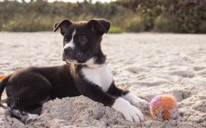 black and white puppy in sand on beach with tennis ball