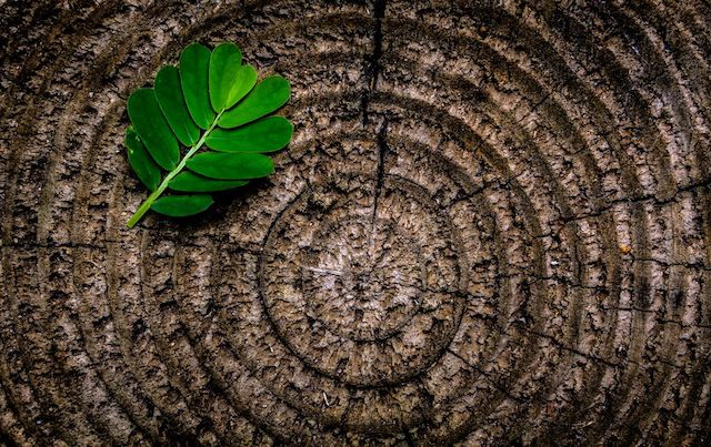 Crosscut tree with rings and leaves atop the circles.