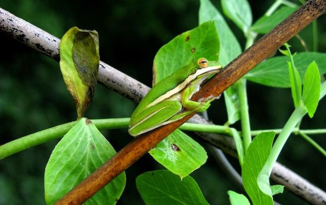 Green tree frog on branch with green leaves