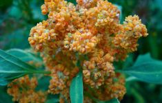 Quinoa plant in flower