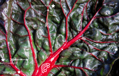 road map overlay on Swiss chard leaf veins