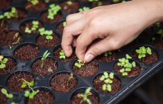 Close up of hand tending tiny seedlings in soil