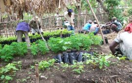 workers planting in nursery garden of Haiti