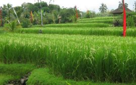Organic-red-rice-paddy-Bali