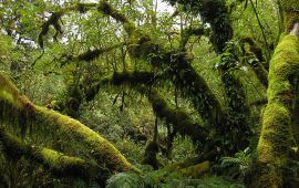 moss-covered rainforest trees