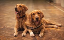Two Golden Retriever dogs lay on parquet floor