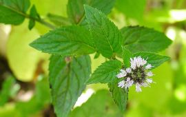 Peppermint plant flowers and leaves in garden.