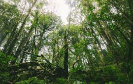 Dense trees in rain forest with tangled roots.