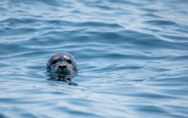 A sea lion pokes its head above the water in the ocean.